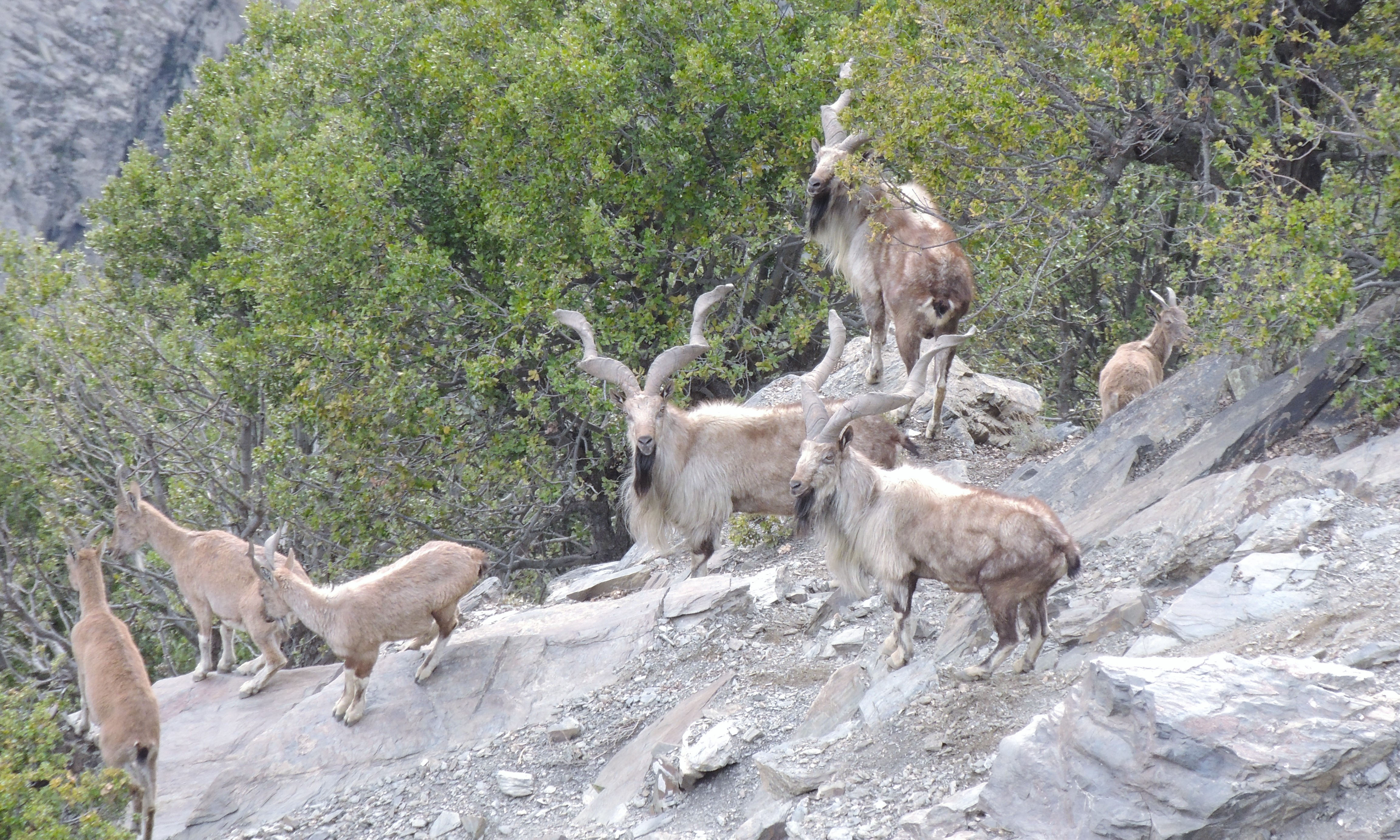 Markhor family in Chitral Gol National Park